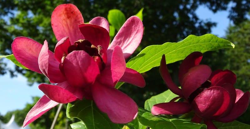 1 Sweetshrub