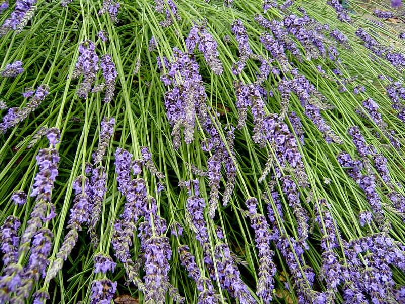 10 Lavender Plant