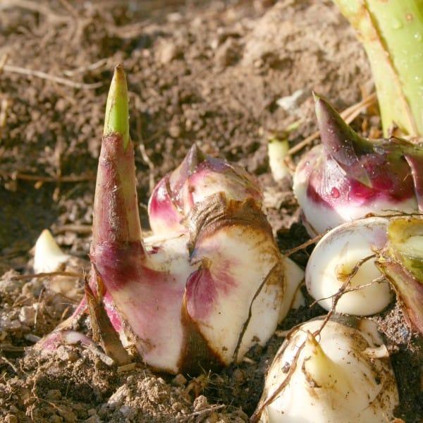 11. Close up of canna rhizomes