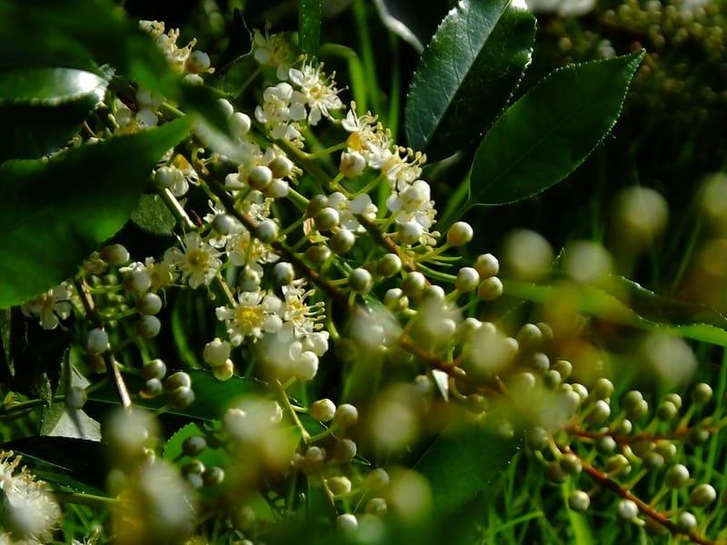 12 Portugese Laurel in Bloom