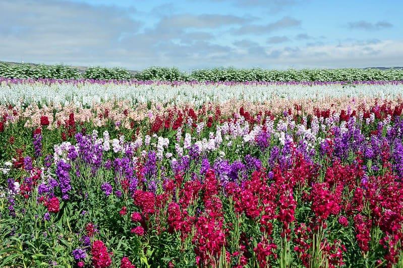 12 Stock Flowers in a Field