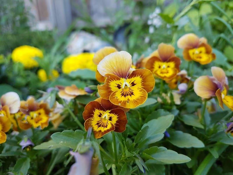 12 Yellow Pansies
