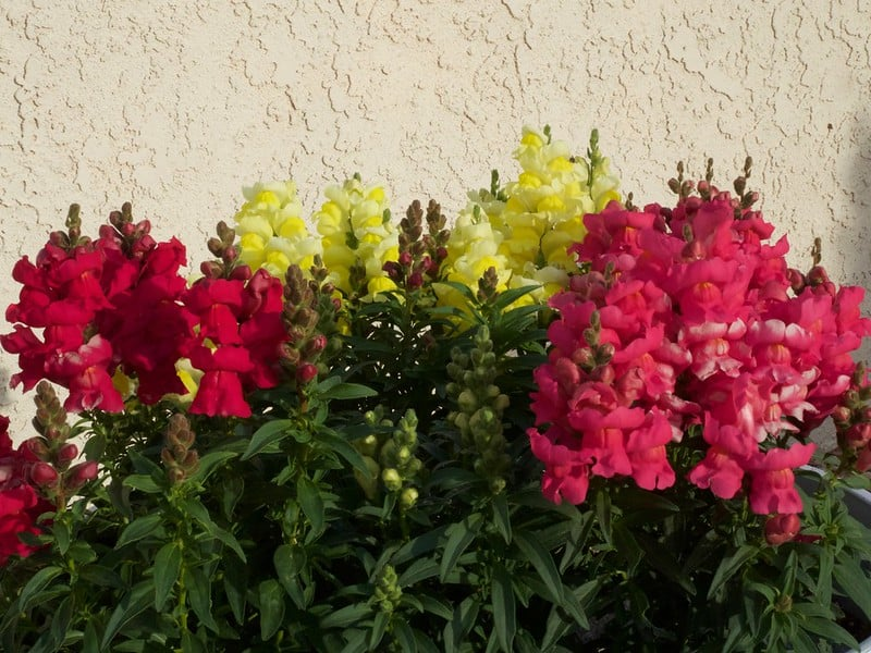 13 Colorful Snapdragons