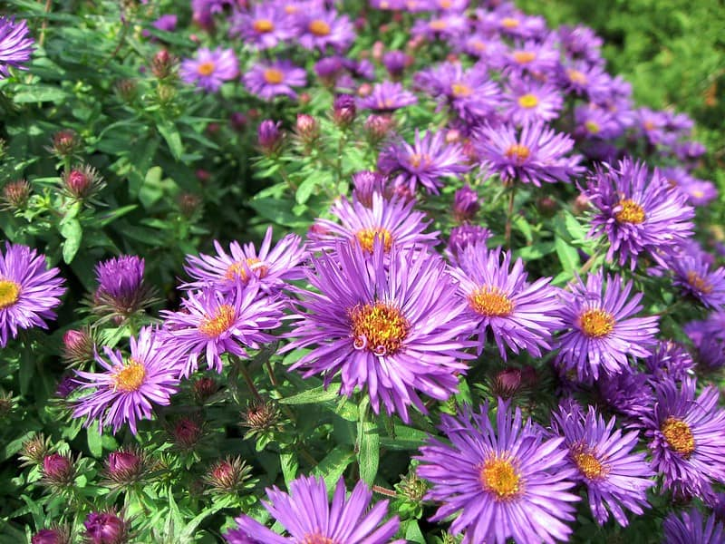 13 New England Aster Blooms