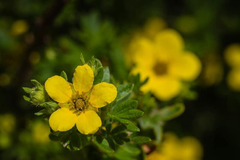 13 Yellow Cinquefoil