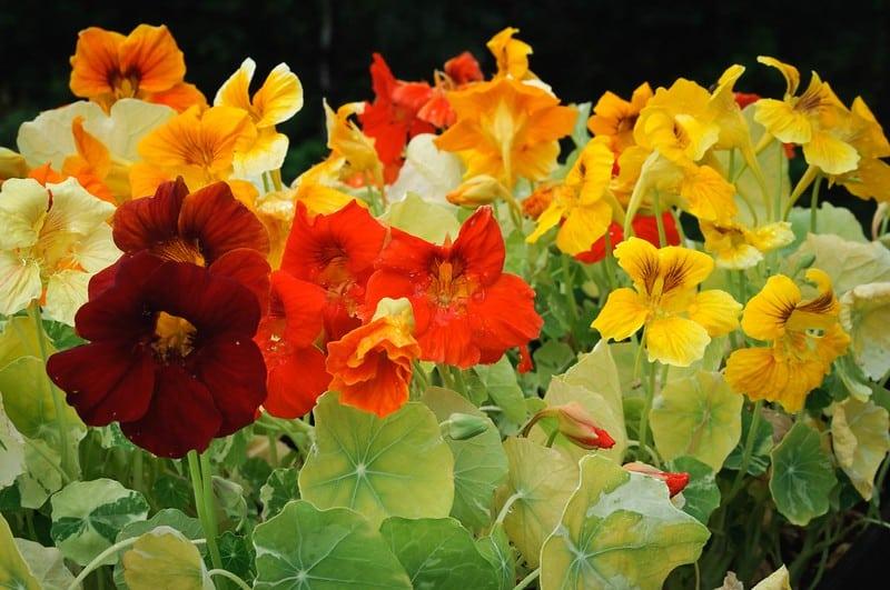 14 Nasturtiums in Varying Colors