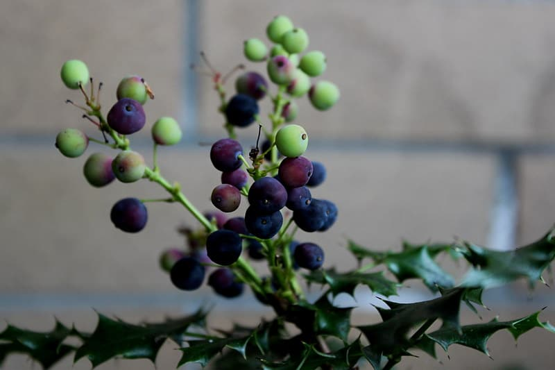 14 Oregon Grape Plant