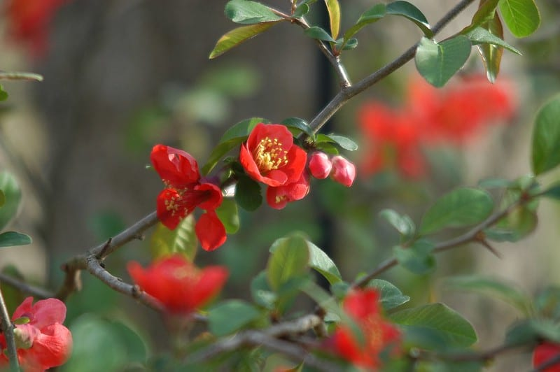 14 Quince Flowers