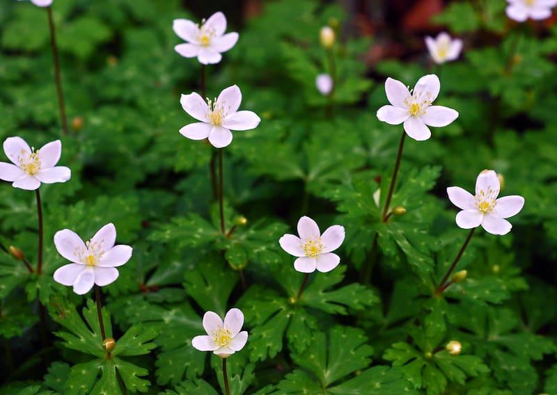 14. Flowering Japanese Anemones