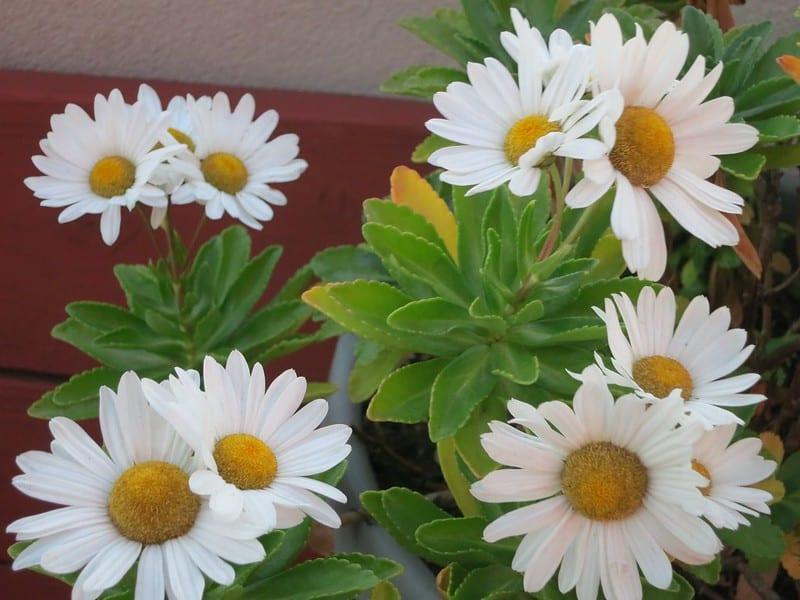 16 Montauk Daisy