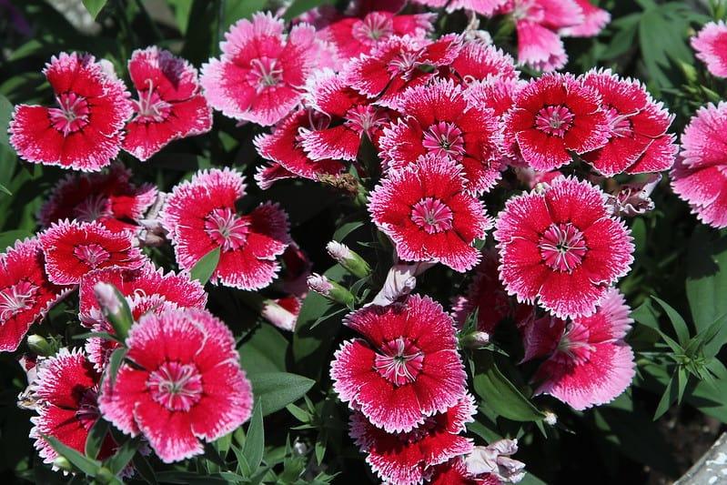 16 Pink Dianthus