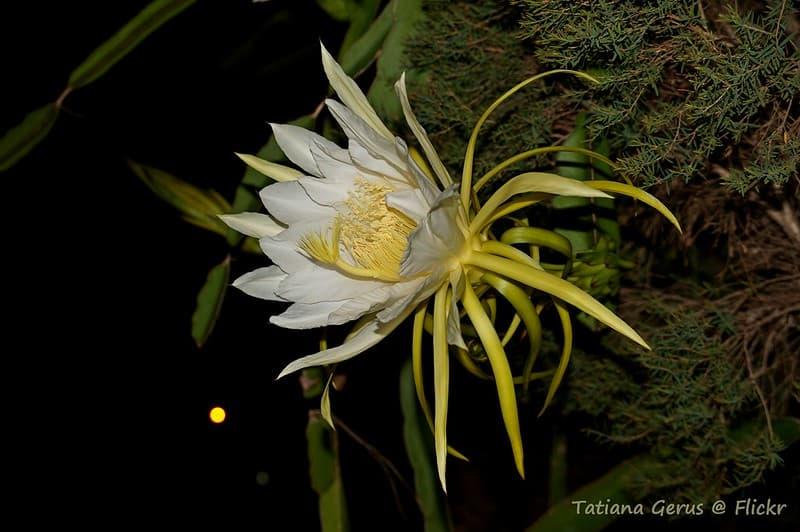 16 Queen of the Night in Bloom