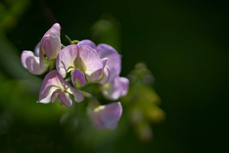 17 Sweet Pea Flowers