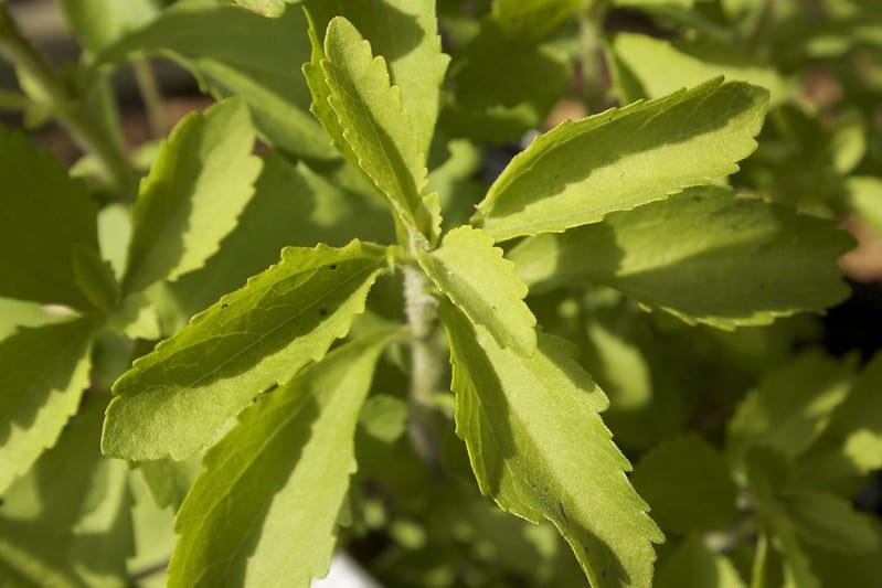 18 Fresh Stevia