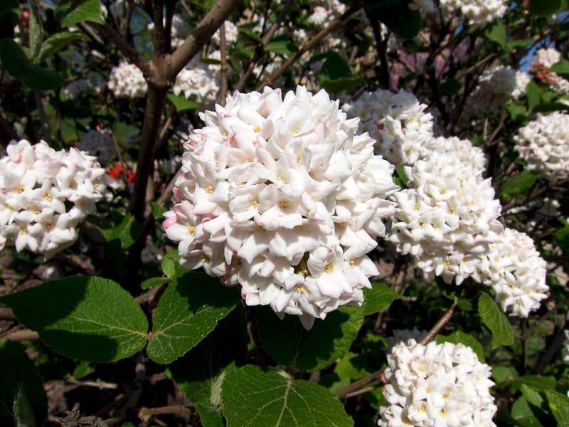18 Koreanspice Viburnum