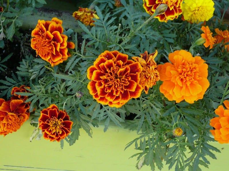 18 Multicolored Marigolds