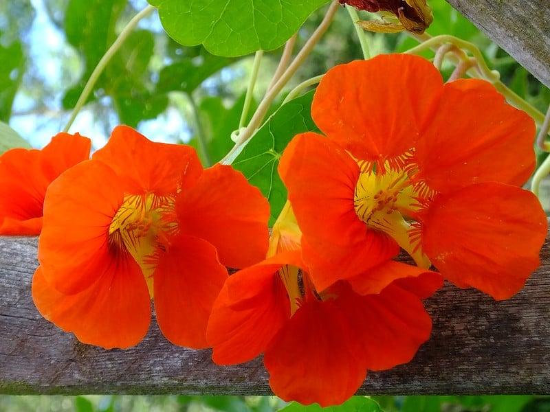 18 Orange Nasturtiums