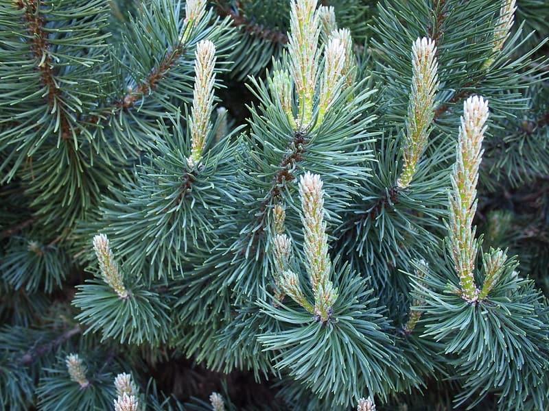 18. Mugo Pine