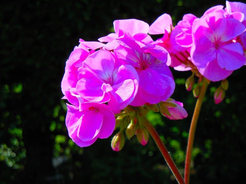 19 Geraniums in Bloom