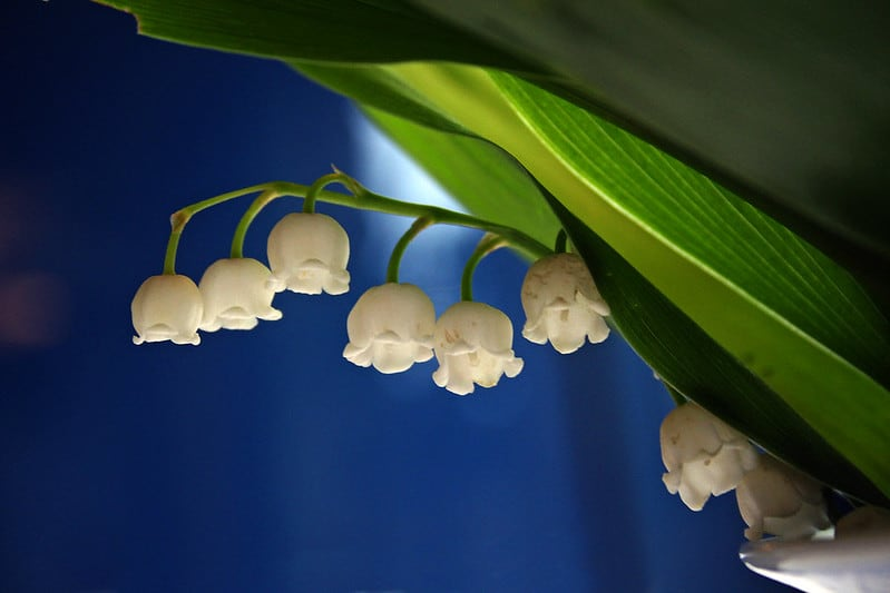 19 Lily of the Valley Flowers