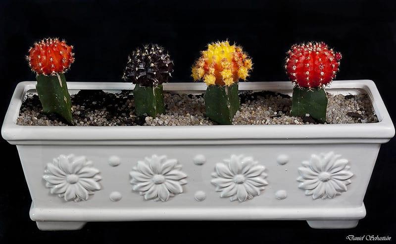 19 Small Moon Cacti
