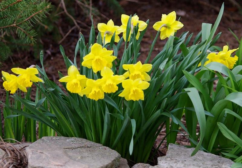 19 Yellow Daffodils