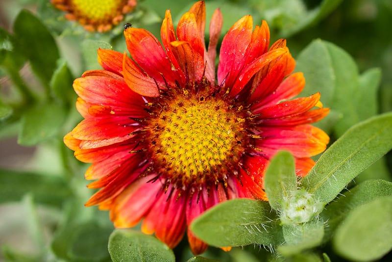 19. Blanket Flower
