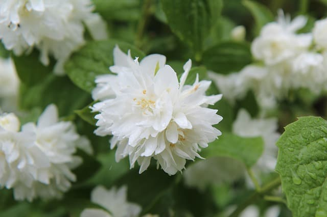 2 Dont just buy the first mock orange shrub you see