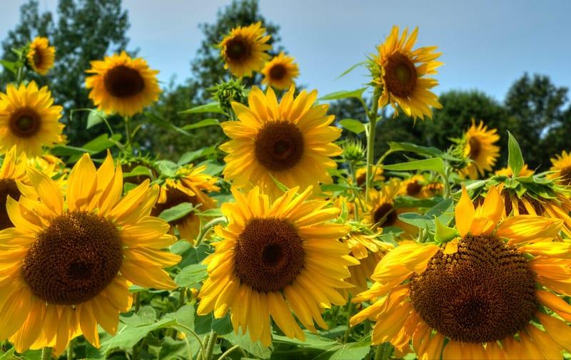 2 Field of Sunflowers