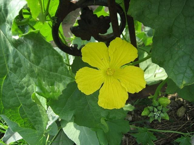 2 Loofah Plant