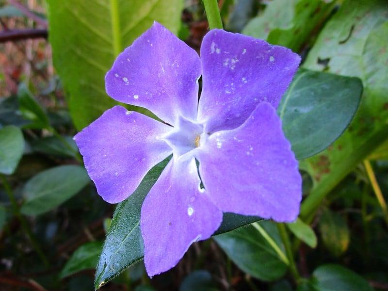 2 Vinca Flowering