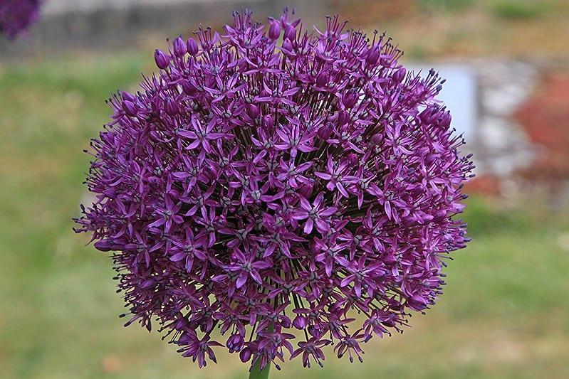 20 Allium Flower