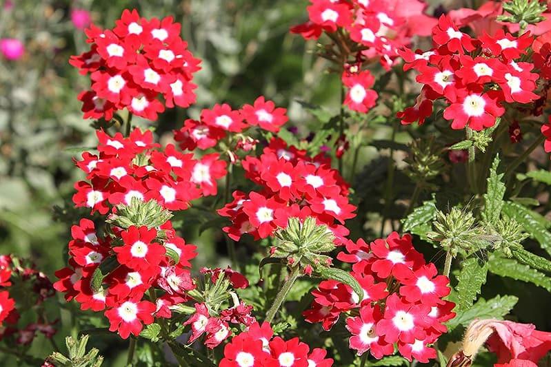 20 Bicolored Verbena