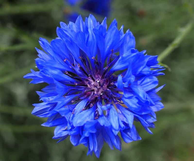 20 Bright Blue Cornflower