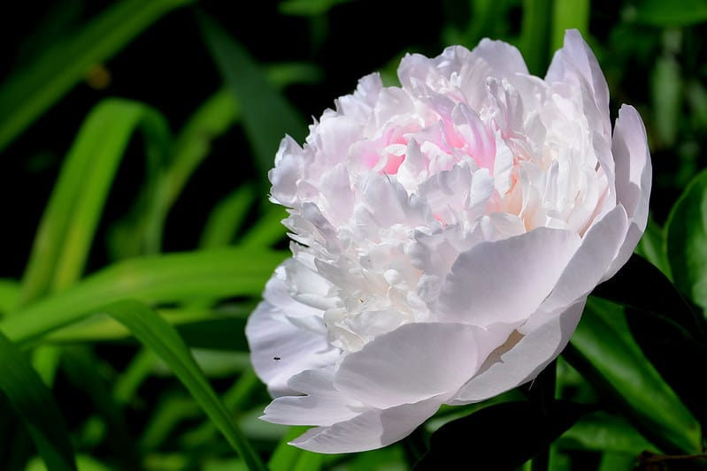 20 White Peony Flower