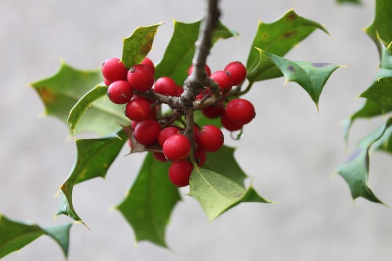 21 English Holly