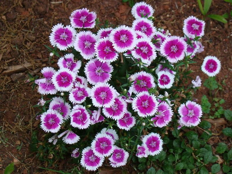 21 Pink and White Dianthus