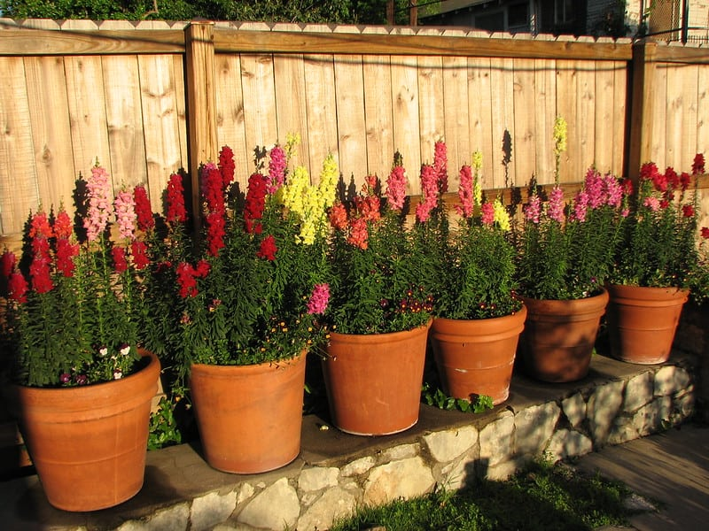 21 Potted Multicolored Snapdragons