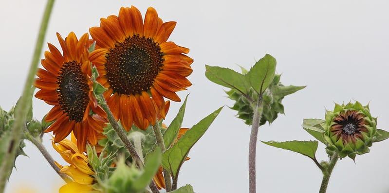 22 Dark Sunflowers