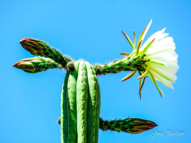22 San Pedro Cactus