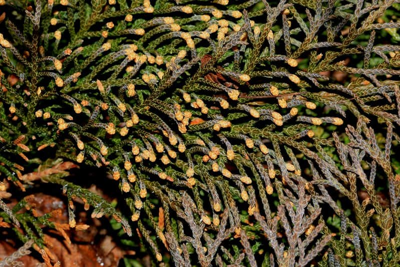 22. Siberian Cypress Close Up