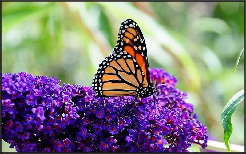 23 Butterfly Bush