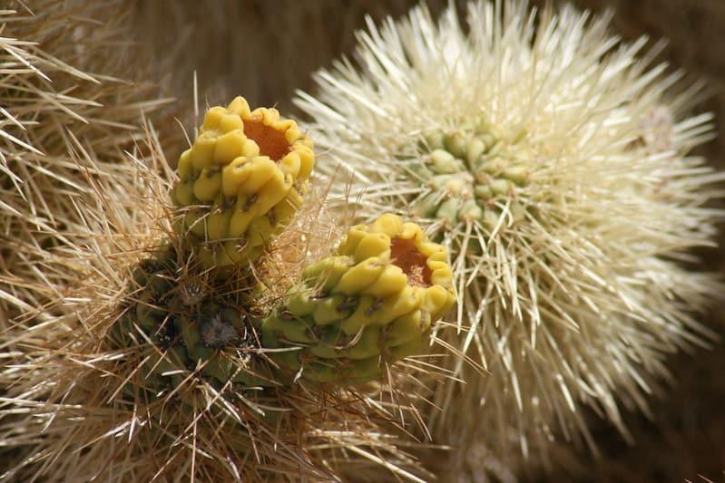 23 Chola Cactus