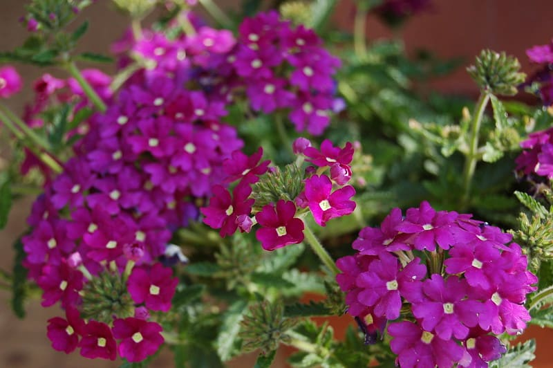 23 Purple Verbena