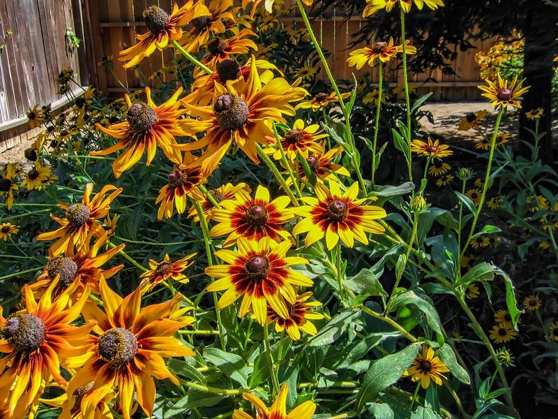 24 Black Eyed Susans in a Patch