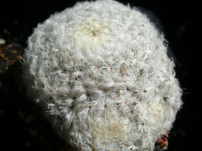 24 Feather Cactus