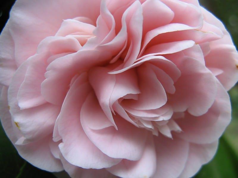 25 Large Camellia Flower