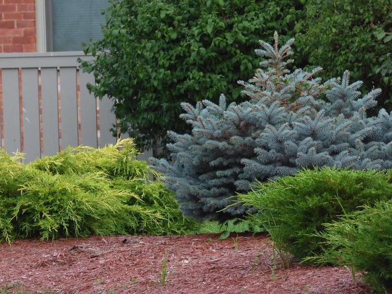25 Spruce Bushes