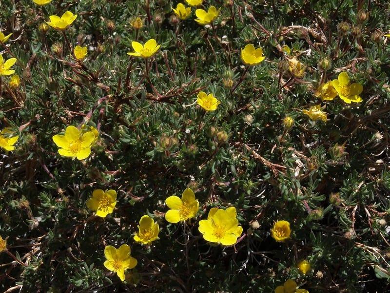 26 Blooming Cinquefoil Bush
