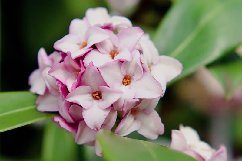 26. Winter Daphne Flower